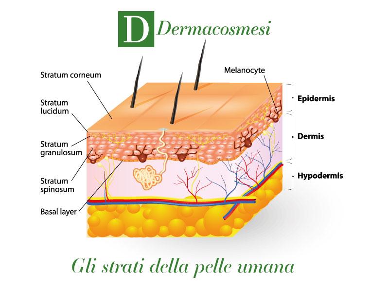 Pelle: gli strati della pelle