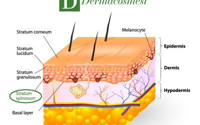 Strato spinoso dell'epidermide: caratteristiche e struttura